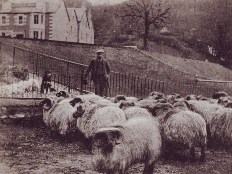 Inversnaid Sheep Herding